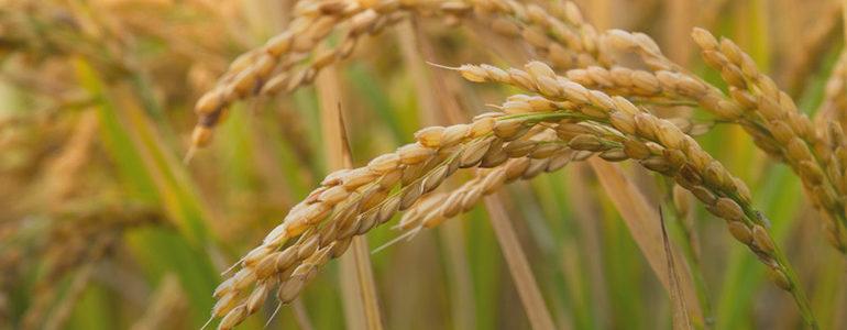China Steals U.S. Rice Research